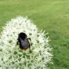 allium-with-fat-bee-1-of-1-150x150